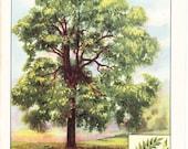 1926 Botany Print - Black Walnut Tree - Vintage Antique Book Art Illustration Nature Natural Science Great for Framing