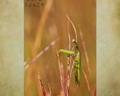 Praying Mantis, Insect, Insect Art, Nature, Connecticut, Autumn, Autumn Colors, Autumn Decor, Photography, Art, State Insect, Green, Pink