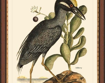 YELLOW-crested  NIGHT-HERON - Catesby Yellow-crested Night-heron bird print reproduction 7047