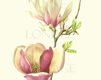 1972 Vintage magnolia print Pink magnolia art flower art botanical art Floral watercolor French country decor Magnolia gift Flower gift