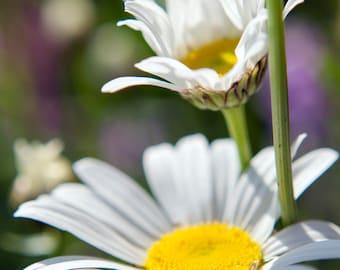 Daisy Nature Photography - Two Daisy's n the Sun