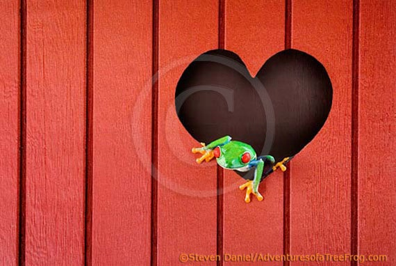 Red Heart Art - Red Valentines Day Heart - A LIVE Frog - Heart Art Print, Love Art