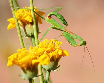 Praying Mantis Photo, nature photography, green mantis on yellow flowers, insect art, macro photography, 5x5 8x8 12x12 fine art print