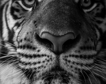 Black and White Tiger Wild Cat Photograph - Fine Art Animal Wildlife Photography Print - Wall Art Available in 8x12, 10x15, 12x18, 16x24+