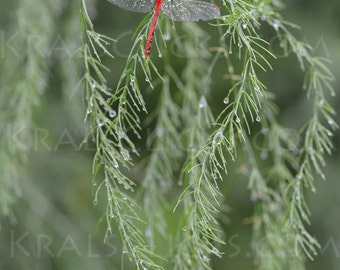 Dragonfly Photograph, Nature Photograph, Fine Art Photography, Red Dragonfly, Home Office Wall Decor, Animal Photography, bug photo, dewdrop