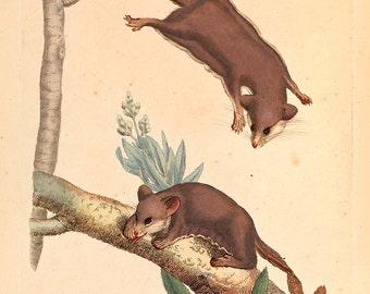 "James Sowerby : ""Pygmy Opossum"" (1793) - Giclee Fine Art Print"