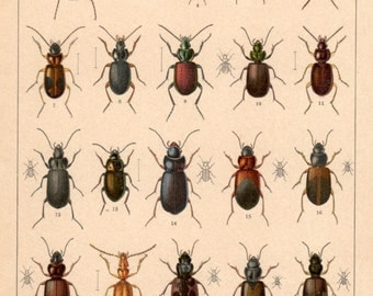 1916 Colorful Beetles, Antique Print, Vintage Lithograph, Carabidae Beetle, Chromolithograph, Insect Print, Coleoptera Bugs, Natural History