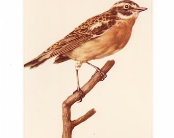 The Whinchat - Mounted Vintage Ornithological Print