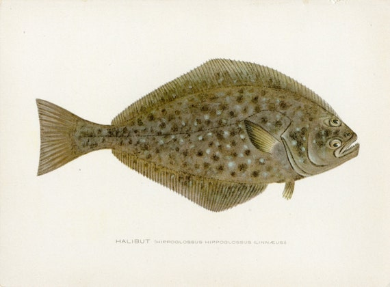 Antique fish print halibut by sherman f denton for New york state fish