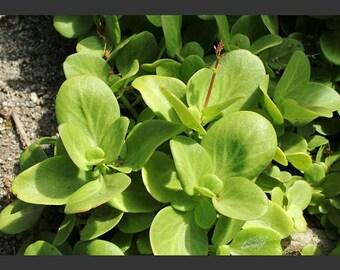 Crassula Multicava - Fairy Crassula - Shade Loving, Fast Growing Succulent- Drought Tolerant, Xeriscape, Garden, Terrarium, Cactus, Aloe