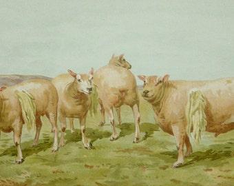 1911 Antique print of SHEEP. Dishley Sheep. Ewe. Ram. 105 years old nice lithograph.