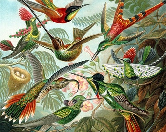 Hummingbirds art image download, Ernst Haeckel, vintage illustration, high resolution, birds art -- item no 32