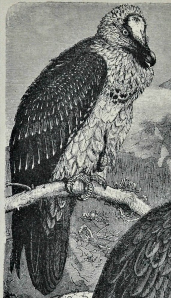 Vulture's print. Ornithology. Natural history engraving. Old book plate,1901. Antique  illustration. 113 years lithograph. 9'6 x 6'2 inches.