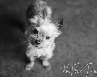 Fine Art Print, Black and White Small Dog Photograph, Monochrome Photo, Pet Photograph, Home Decor, Dog, Children's Room