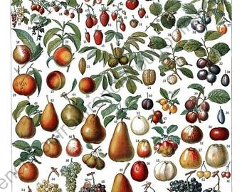 vintage french illustration grapes cherries strawberries fruits illustration DIGITAL DOWNLOAD