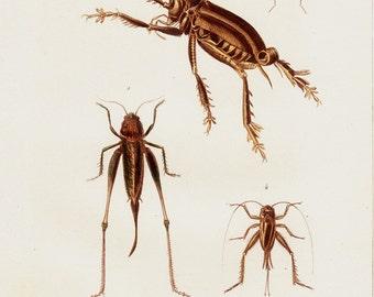 1850 Antique GRASSHOPPER print engraving, Insect print ,cricket, grasshopper species. Hand colored, original antique print