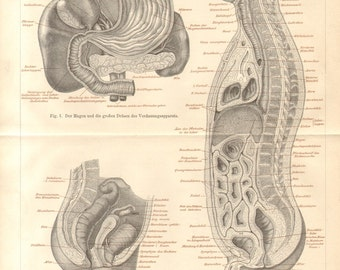 1890 Intestines, Bowels of the Human Body Original Antique Engraving