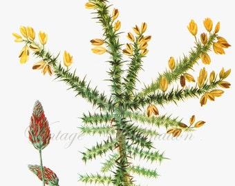 Vintage CLOVER Botanical Print 122 antique plant print botanical print, bookplate art print, herbs herb plants plant wall print