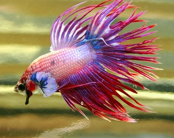 Crowntail Betta Fish Photography, red white blue Siamese Fighting Fish Art, gifts under 20, square wall art print