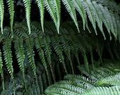 Dark Fern Print - Green Photography - Botanical Print - Lovely Irish Ferns - 8x12