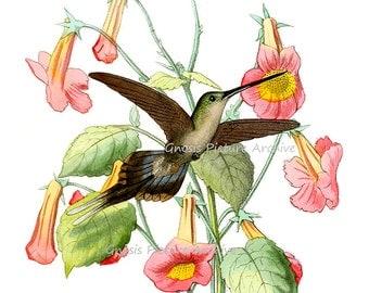 Hummingbird Art #11 Hummingbird Print Botanical Trumpet Flowers Illustration, Natural History Art, Garden Art, Wall Art, Bird Print