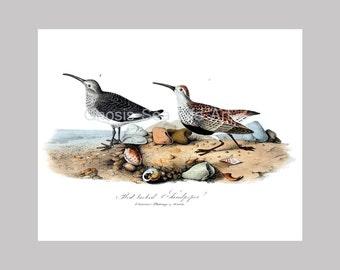 Coastal Decor Sea Bird Print no.11 Wall Art Beach Art Print Sandpiper Bird Audubon Antique Birds Print 10x8 reproduction Wall Art Home Decor