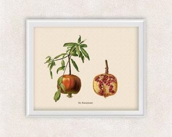 Pomegranate BOTANICAL ART - 8x10 PRINT Fruit - Kitchen Decor - Wall Art - Antique Flower Art - Item #127