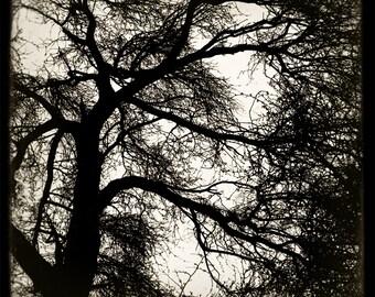 shilshole tree no.1