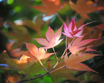 Japanese Maple leaves #3-2014-0324