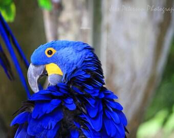 Bird Photography Blue Macaw Portrait, Exotic Bird Wall Art, Parrot Print, Bird Lover Gift, Wild Tropical Bird photos,  Bright Blue decor