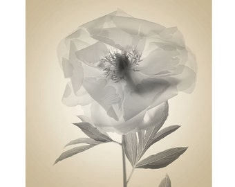Peony Botanical Print, Sepia Photography, Peony Art, Scanned Flower Photography, Sheer X-Ray, Botanical Art, Bedroom Decor