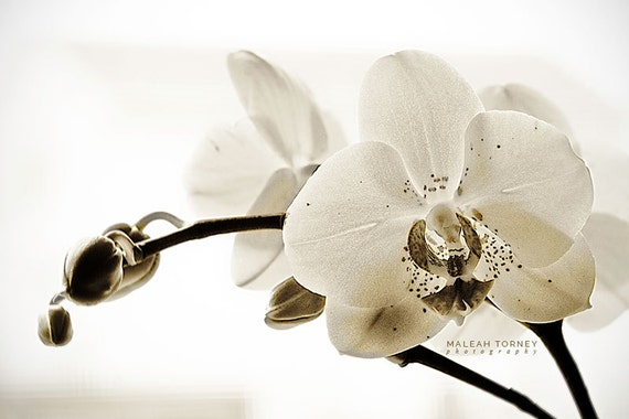 White Orchid Photo black and white flower photography