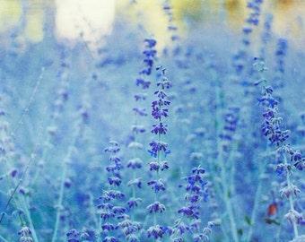 Nature Photography Blue Saliva Print Blue Flowers Cambridge Spring Color Nursery Decor Fine Art Print Blue Flowers Botanical Print Nature