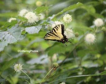 Eastern Tiger Swallowtail Butterfly, Henryville, Clark County, IN Fine Art Photography Print Glossy 8 x 10