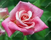 Beautiful Spirited Pink Rose Floral Fine Art Photography Photo Print