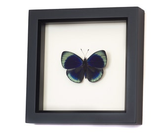 Framed Butterfly Charles Darwin Shadowbox Display
