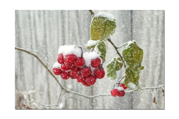Winter Berries Photo - Snow Berries - Winter Photography - Frosty Red - Christmas Photography