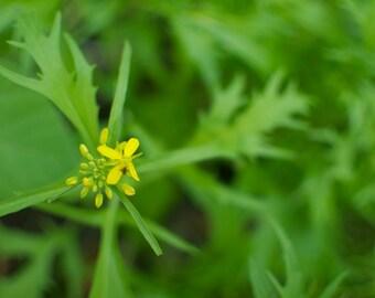 Organic Mizuna Seeds - Japanese Mustard Greens