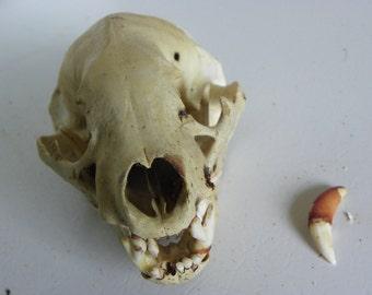 CRUELTY FREE - No. A9 - Unknown - Badger Skull - Coon Educational Taxidermy Animal Specimen Bone Skulls Death USA Natural Curio
