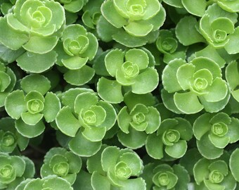 Digital download Succulent photo green home decor nature photography Photo download