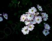 Wild Pink Roses Rose Garden Botanical Photography Photo