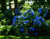 Blue Hydrangea Flowers Garden Botanical Photography Photo Romantic
