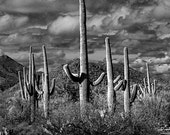Saguaro Cactuses in Saguaro National Park by Tucson Arizona No.FS1620BW A Black and White Fine Art Landscape Photograph