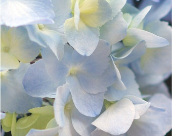 Fine Art Photography, Print, Wall Decor, Floral, Nursery, Soft Blue, Hydrangea, 8x10 Print, Shabby Chic