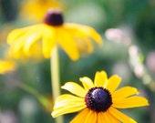 Yellow flower photo, black eyed susan photo, yellow and black, flower photography, nature photography, summer, yellow decor, wildflower