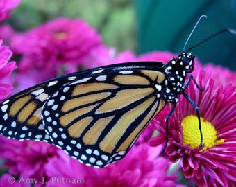 Photo magnet - monarch butterfly
