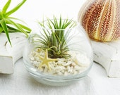 Coral Sand Glass Vase Terrarium Kit with Tillandsia  Air Plant  w Tan Starfish - Home/Office Decor - Gift Idea - Hostess Gift - Housewarming - BeachCottageBoutique