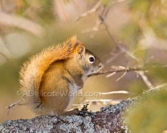 Red Squirrel Photograph - Woodland Animal, Squirrel Print 5x7, Squirrel at dawn
