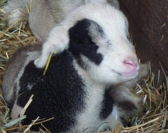 Resting Lamb Picture Greeting Card Great for New Babies Mothers Day