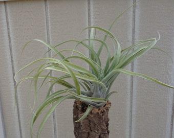 Large Tillandsia Xerographica x Brachycaulos